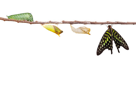 chrysalis: Isolated tailed jay butterfly with chrysalis and caterpillar on twig Stock Photo
