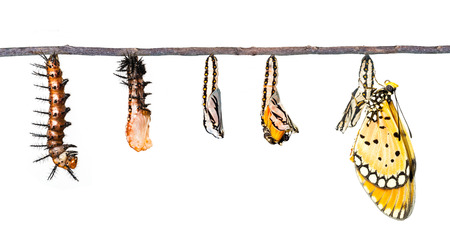tawny: Life cycle of Tawny Coster transform from caterpillar to butterfly