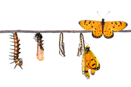 Life cycle of Tawny Coster transform from caterpillar to butterfly on white Reklamní fotografie