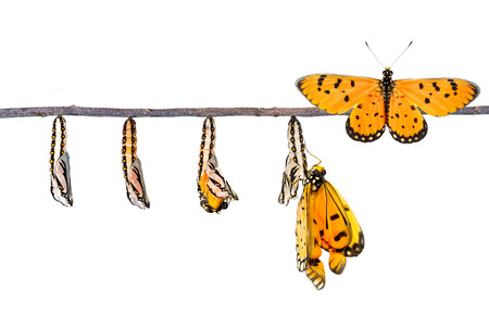 Life cycle of Tawny Coster transform from caterpillar to butterfly on white Standard-Bild