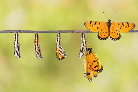 Life cycle of Tawny Coster transform from caterpillar to butterfly on twig Stockfoto