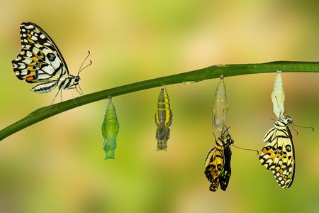 Transformation of Lime Butterfly ( papilio demoleus ) Reklamní fotografie - 60093019