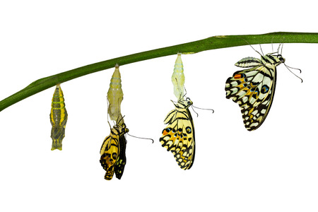 papilio demoleus: Isolated transformation of Lime Butterfly ( papilio demoleus ) Stock Photo