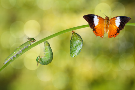 Life cycle of Tawny Rajah butterfly with caterpillar and chrysalis