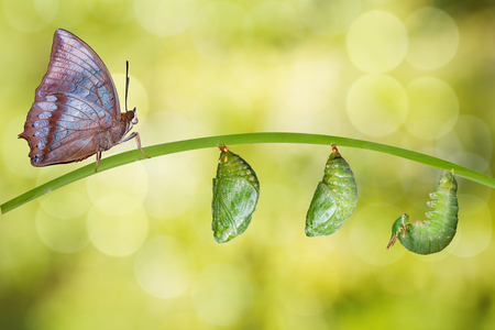 tawny: Isolated life cycle of Tawny Rajah butterfly with caterpillar and chrysalis