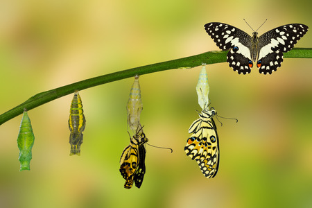Transformation of Lime Butterfly ( papilio demoleus ) Stock Photo - 60174986