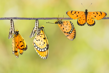 Transfromation of Tawny Coster butterfly from coocon Stock Photo