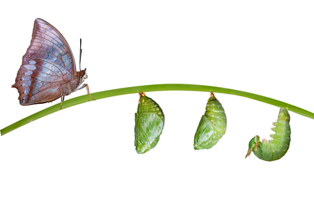 Isolated life cycle of Tawny Rajah butterfly with caterpillar and chrysalis on white Standard-Bild