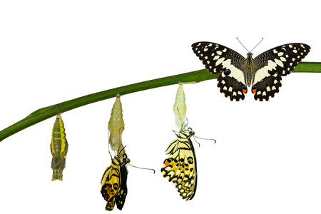 Isolated transformation of Lime Butterfly ( papilio demoleus ) on white Stock Photo - 60174991