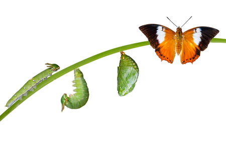 Isolated life cycle of Tawny Rajah butterfly with caterpillar and chrysalis on white Archivio Fotografico