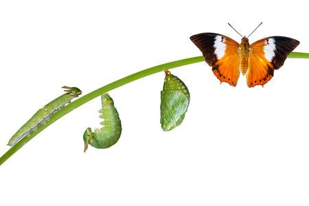 Izolowane cykl życia Tawny Rajah motyl z poczwarki i gąsienica na białym