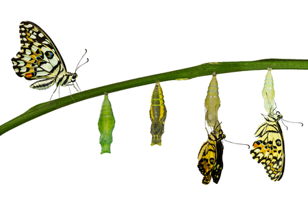 papilio demoleus: Isolated transformation of Lime Butterfly ( papilio demoleus ) on white