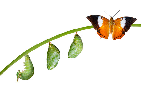 Isolated life cycle of Tawny Rajah butterfly with caterpillar and chrysalis on white Stockfoto
