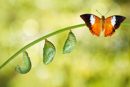 Isolated life cycle of Tawny Rajah butterfly with caterpillar and chrysalis