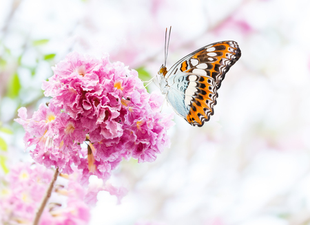 sunshine insect: Beautiful butterfly resting on pink trumpet flower or tatebuia rosea Stock Photo