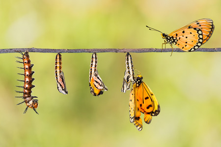 emerge: Life cycle of Tawny Coster transform from caterpillar to butterfly on twig Stock Photo