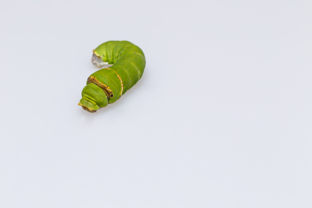 papilio: Catepillar of lime Butterfly ( papilio demoleus ) on white