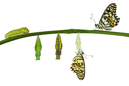 ホワイトにライム バタフライ (アゲハ demoleus) の分離変換 写真素材