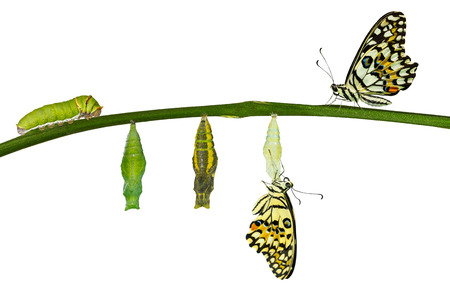 Isolated transformation of Lime Butterfly ( papilio demoleus ) on white 版權商用圖片 - 60678118