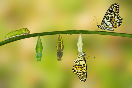 Isolated transformation of Lime Butterfly ( papilio demoleus ) Banco de Imagens