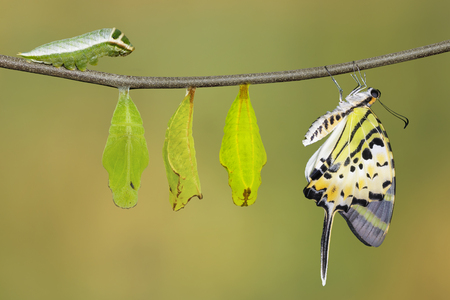 Isolated five bar swordtail butterfly life cycle (antiphates pompilius) on twig with clipping path