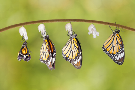Transformation of common tiger butterfly emerging from cocoon on twig Reklamní fotografie - 60898319