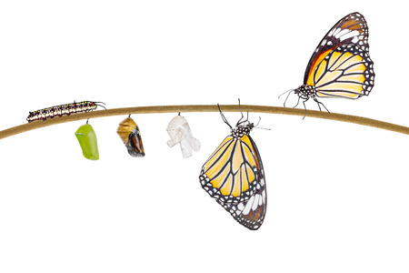 Isolated transformation of common tiger butterfly emerging from cocoon on twig with clipping path Stockfoto