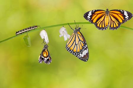 oruga: La transformación de la mariposa tigre común que emerge de crisálida en la ramita Foto de archivo