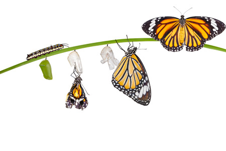 Isolated transformation of common tiger butterfly emerging from cocoon on twig with clipping path 스톡 콘텐츠