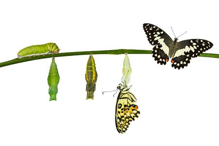 クリッピング パスと白でライム バタフライ (アゲハ demoleus) の分離変換