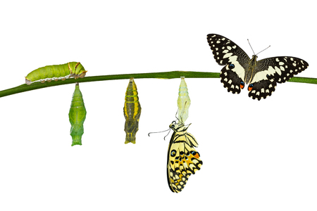 Isolated transformation of Lime Butterfly ( papilio demoleus ) on white with clipping path