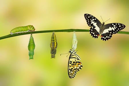 oruga: La transformación de la cal de la mariposa (Papilio demoleus) con pupa y oruga Foto de archivo