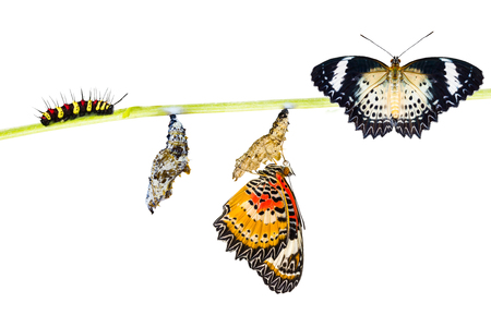 lacewing: Isolated Leopard lacewing (Cethosia cyane euanthes)  butterfly , caterpillar, pupa and emerging  with clipping path Stock Photo