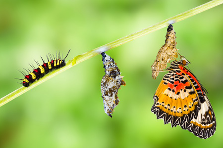 Leopard lacewing (Cethosia cyane euanthes)  butterfly , caterpillar, pupa and emerging 版權商用圖片 - 60865420