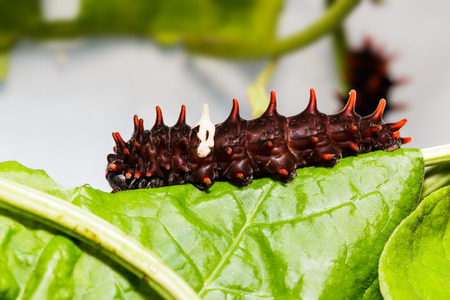 swallowtails: Catepillar of common rose butterfly (Pachliopta aristolochiae) on leaf