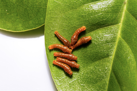 stomach bug: Third instar caterpillar of banded swallowtail butterfly on leaf Stock Photo