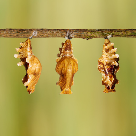rose butterfly: Chrysalis of common rose butterfly (Pachliopta aristolochiae) hanging on twig Stock Photo