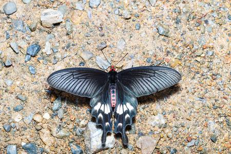 thorax: Adamsons Rose butterfly (Byasa adamsoni) is sucking food from wet grpund