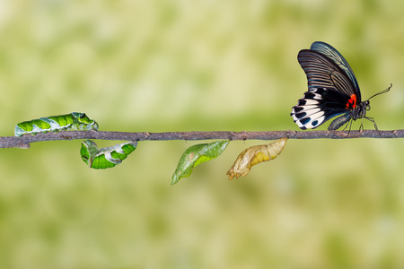 Life cycle of female great mormon butterfly from caterpillar 版權商用圖片 - 63743811