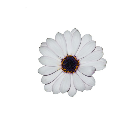 asteraceae: Isolated white daisy