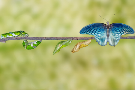 Life cycle and transformation of male great mormon butterfly from caterpillar Stock Photo