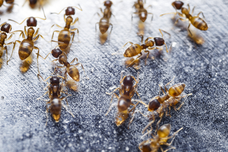 invader: Close up of red imported fire ants Solenopsis invicta or simply RIFA Stock Photo