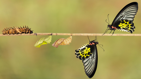 Life cycle of female common birdwing ( goldenwing) butterfly from caterpillar with