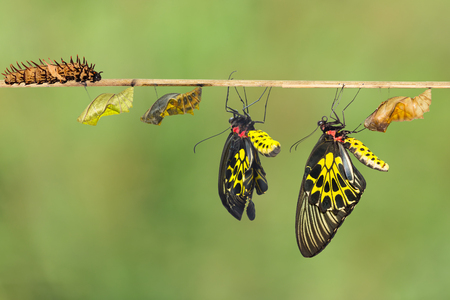 Life cycle of female common birdwing ( goldenwing) butterfly with clipping path