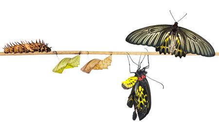 Cycle de vie isolé du papillon oiseau commun femelle (goldenwing) de chenille avec un tracé de détourage Banque d'images