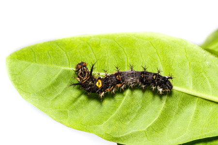 Caterpillar of the commander ( Moduza procris ) butterfly hanging on host plant