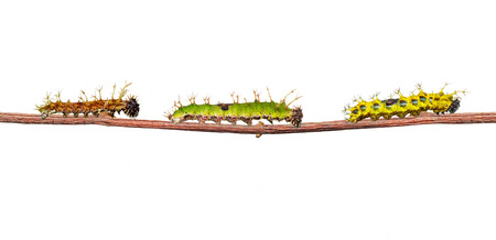 Isolated caterpillar of colour segeant butterfly from 4th to mature walking on twig with clipping path