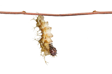 populate: Isolated mature caterpillar of colour segeant butterfly ( Athyma nefte ) hanging on twig before population with clipping path