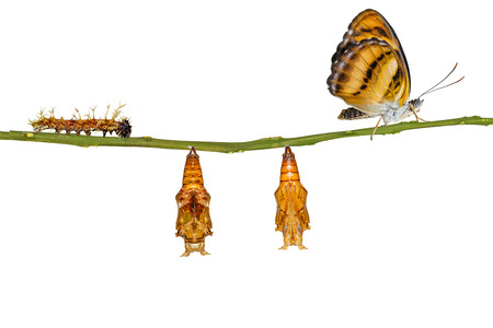 Isolated life cycle of colour segeant butterfly ( Athyma nefte ) from caterpillar and pupa hanging on twig with clipping path