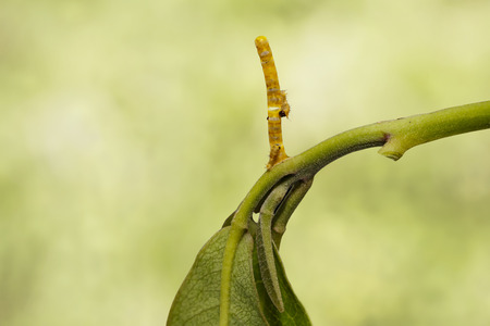 Caterpillars eating their eggs shell of banded swallowtail butterfly (Papilio demolion) on host plant Stock Photo